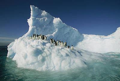 Photograph - Adelie Penguin Pygoscelis Adeliae Group by Colin Monteath