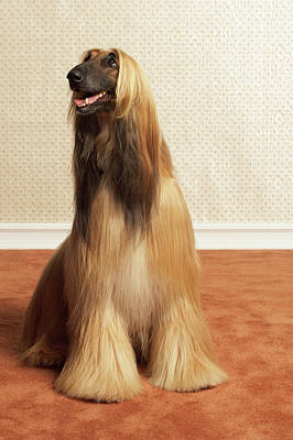 Anticipation Photograph - Afghan Hound Sitting In Room by Dtp