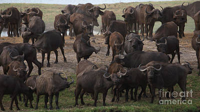 Photograph - African Buffalo by Mareko Marciniak
