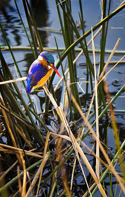 Rustenburg Photograph - African Pigmy Kingfisher by Ronel Broderick