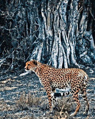 Duo Tone Photograph - Alert Cheetah by Darcy Michaelchuk