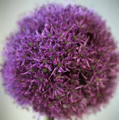 Allium Flower (allium Sp.) Art Print by Cristina Pedrazzini