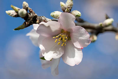 Almond Blossom Print by Ralf Kaiser