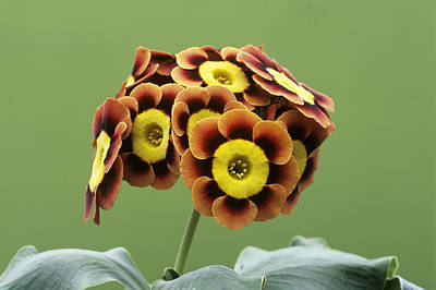 Auricula Photograph - Alpine Auricula 'ancient Society' Flowers by Archie Young