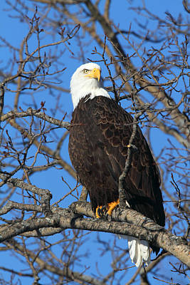 Photograph - American Bald Eagle by Doug Lloyd