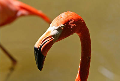 Photograph - American Flamingo by Larry Parker