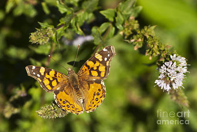 Photograph - American Lady Butterfly by Jim And Emily Bush