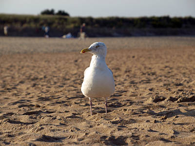 Photograph - American Seagull by Mary Capriole
