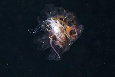 Medusa Photograph - Amphipod Inside A Lion's Mane Jellyfish by Alexander Semenov