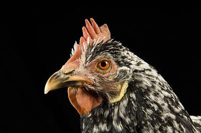 An Ancona Chicken At The Soukup Farm Art Print by Joel Sartore