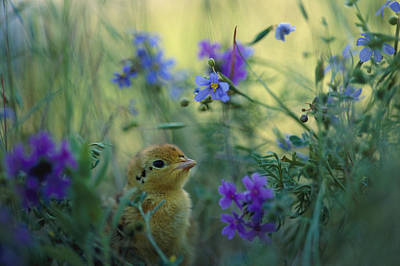 An Attwaters Prairie Chick Surrounded Art Print by Joel Sartore