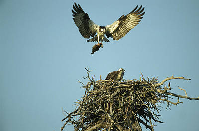 An Osprey Carrying A Fish Back Art Print by Klaus Nigge