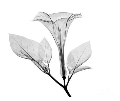 Datura Photograph - An X-ray Of A Datura Flower by Ted Kinsman