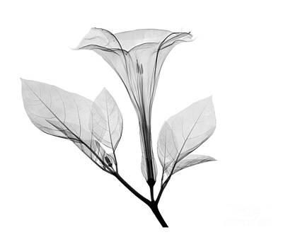 Jimson Photograph - An X-ray Of A Datura Flower by Ted Kinsman