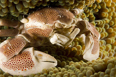 Porcelain Crabs Photograph - Anemone Or Porcelain Crab In Its Host by Tim Laman