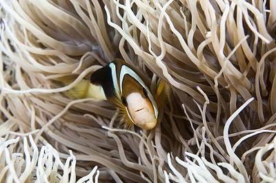 Clown Fish Photograph - Anemonefish In Sea Anemone by Matthew Oldfield