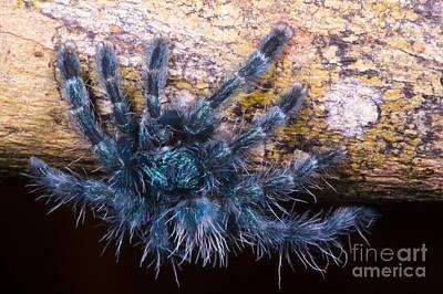 Pink-toed Tarantula Photograph - Antilles Pinktoe Tarantula by Dante Fenolio
