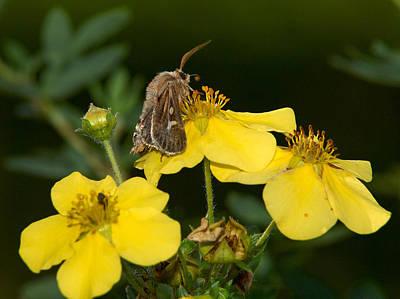 Photograph - Antler Moth by Jouko Lehto