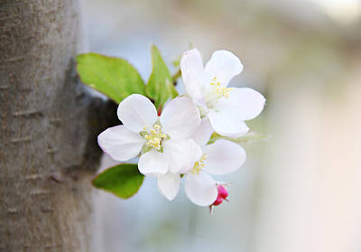 Photograph - Apple Blossoms by Masha Batkova