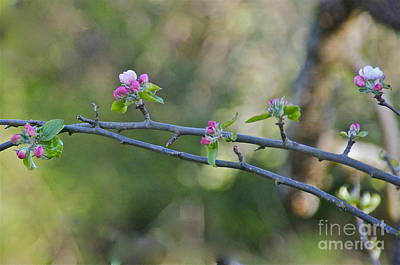 Apple Blossoms Art Print by Sean Griffin