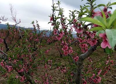 Photograph - Apple Blossoms by Steve Mangan