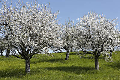 Apple Trees In Full Bloom Art Print by Wilfried Krecichwost