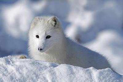 Arctic Fox Exploring Fresh Snow Alaska Art Print by David Ponton