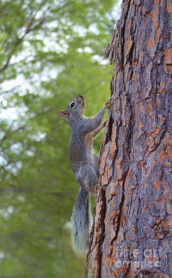 Photograph - Arizona Grey Squirrel by Donna Greene