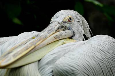 Photograph - Arrogant Pelican by Chua  ChinLeng