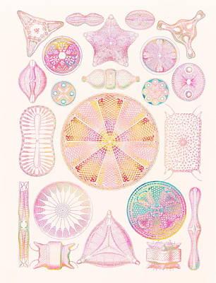 Art Of Diatom Algae (from Ernst Haeckel) Art Print