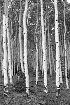 Photograph - Aspen And Evergreen by John Stephens
