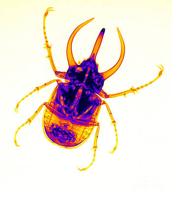 Photograph - Atlas Beetle X-ray by Ted Kinsman
