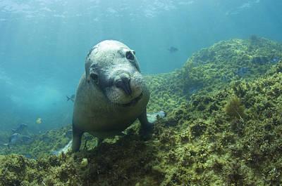 Australian Sea Lion Art Print