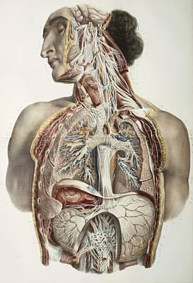 Autonomic Nerves, 1844 Artwork Art Print by