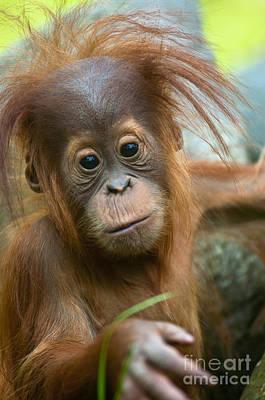 Orangutan Photograph - Baby by Andrew  Michael