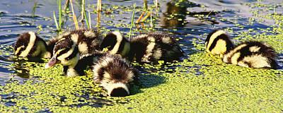 Photograph - Baby Ducks by Ira Runyan