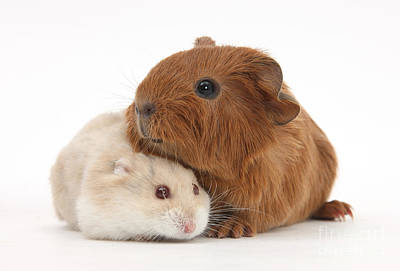 Hamster Baby Photograph - Baby Guinea Pig And Russian Hamster by Mark Taylor