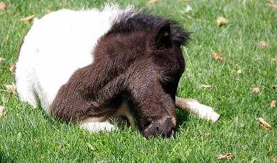 Photograph - Baby Miniature Horse by Jeff Lowe