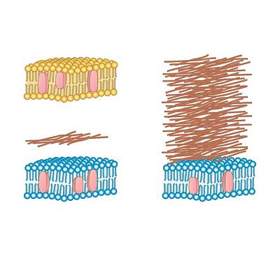 Bacterial Cell Wall Comparison, Artwork Art Print by Peter Gardiner