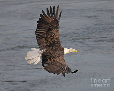 Photograph - Bald Eagle by Craig Leaper