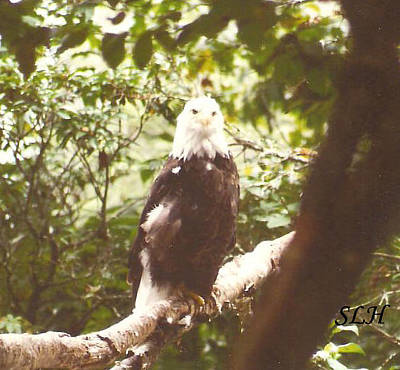 Photograph - Bald Eagle by Lee Hartsell