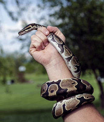 Photograph - Ball Python by David Lester