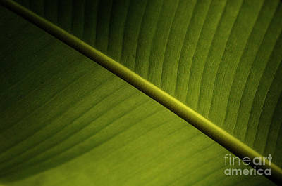 Photograph - Banana Leaf by Bob Christopher