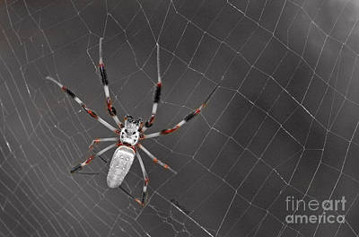 Photograph - Banana Spider by Terri Mills
