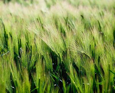 Background And Textures Photograph - Barley, Co Down by The Irish Image Collection