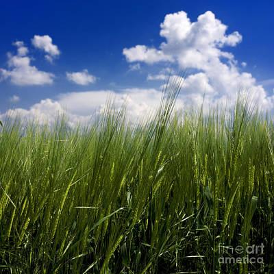 Barley Field  In Limagne. Auvergne. France Art Print by Bernard Jaubert