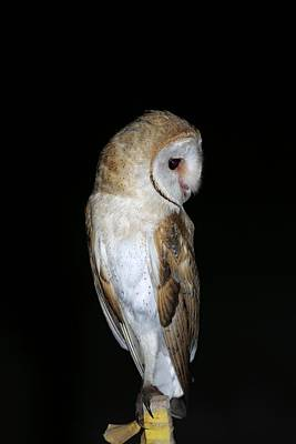 Birds Of Israel Photograph - Barn Owl At Night by Photostock-israel