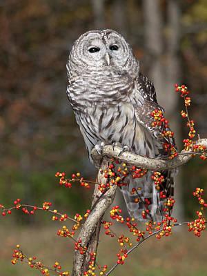 Barred Owl Art Print by Cindy Lindow