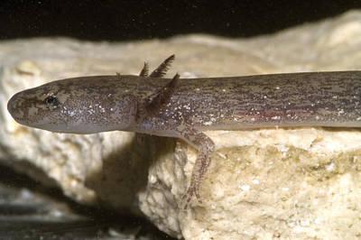 Plethodontidae Photograph - Barton Springs Salmander by Dante Fenolio