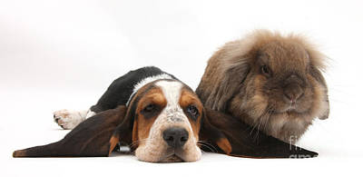Basset Hound And Rabbit Print by Mark Taylor